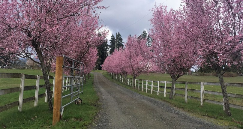 Cherry Blossoms in Beautiful Nanaimo